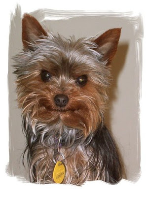 yorkie rescues miniature yorkshire terrier yorkie rescue 9126