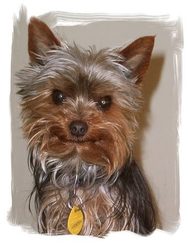 yorkshire terrier for adoption miniature yorkshire terrier yorkie rescue 640