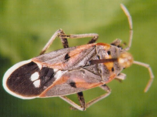 Species Hemiptera
