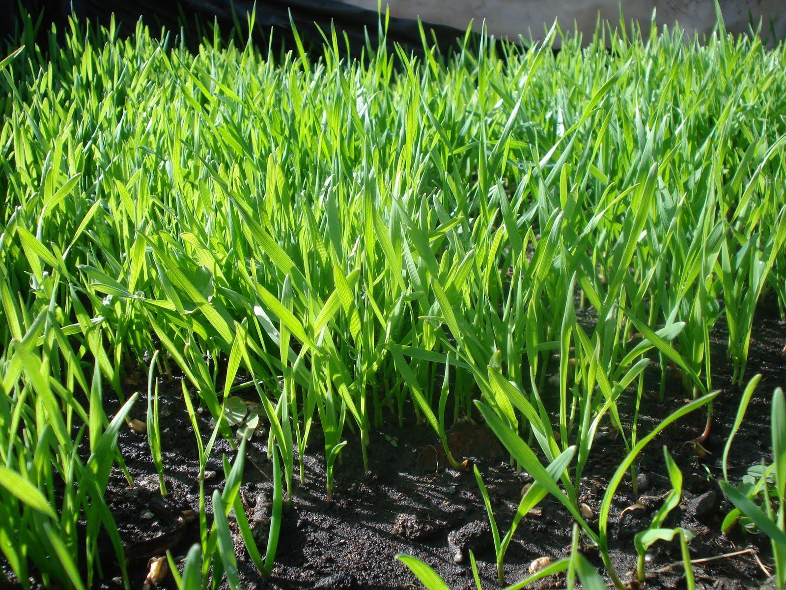 the world of gaea.: Hard Red Winter Wheat