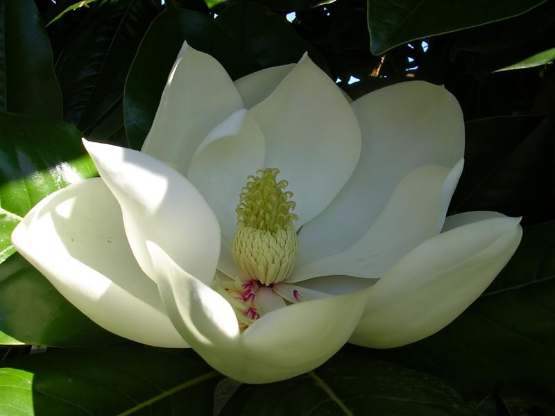https://i0.wp.com/2.bp.blogspot.com/_L2iPRVDhLQY/TI_DANbYo6I/AAAAAAAAY2Q/Cc5B2jxbKZU/s1600/magnolia_grandiflora.jpg