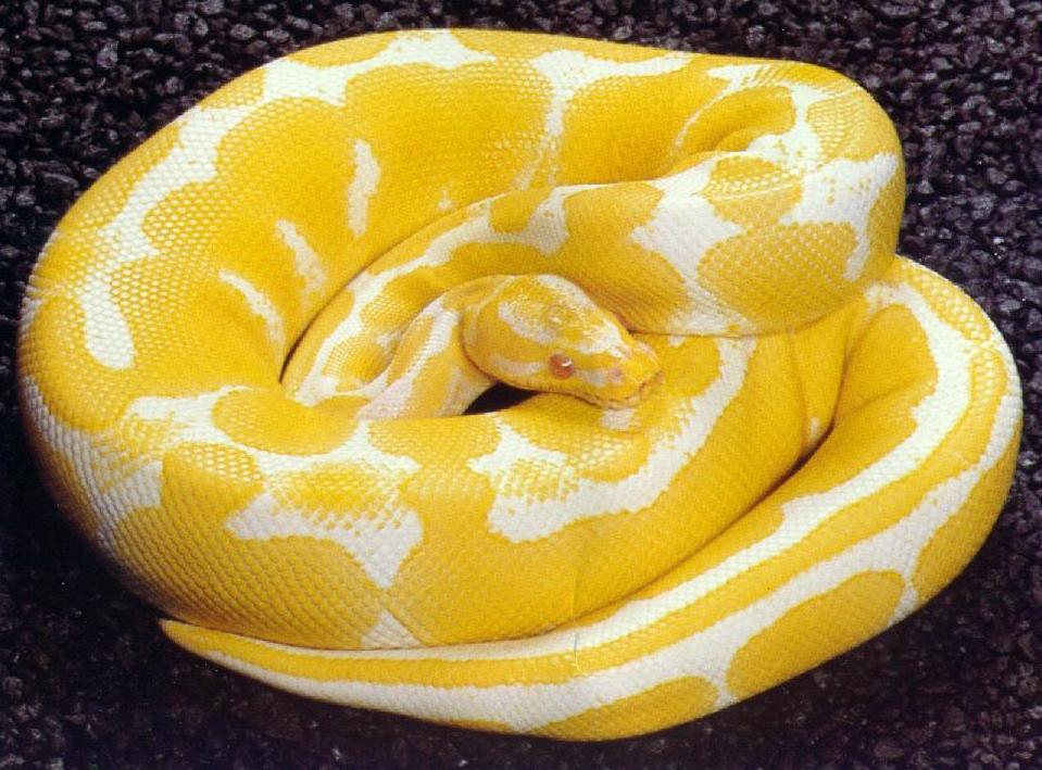 White python snake