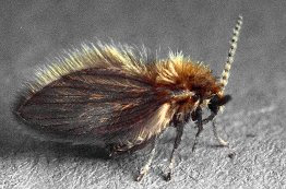 Bugs News Drain Flies Breed In The Quot Gunk Quot In Your Drains