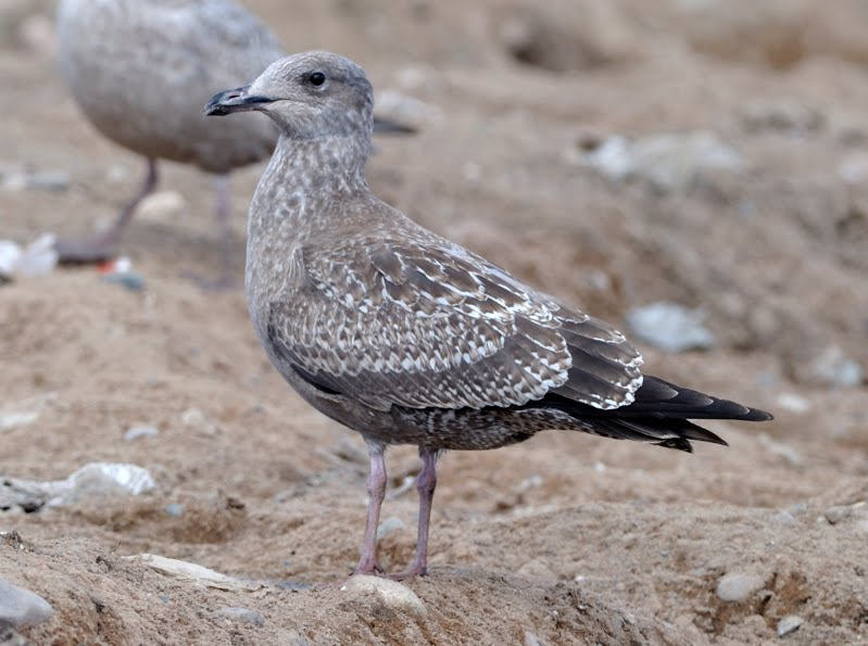 Juvenile European Herring Gull (Larus Argentatus) | On a ...