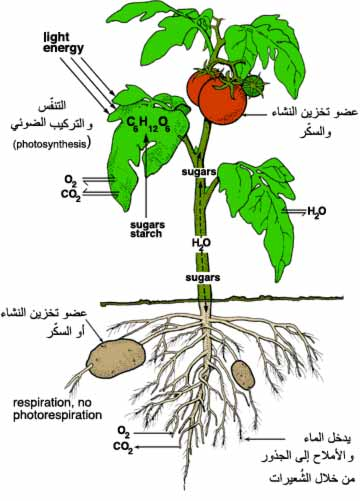 كتاب النبات pdf
