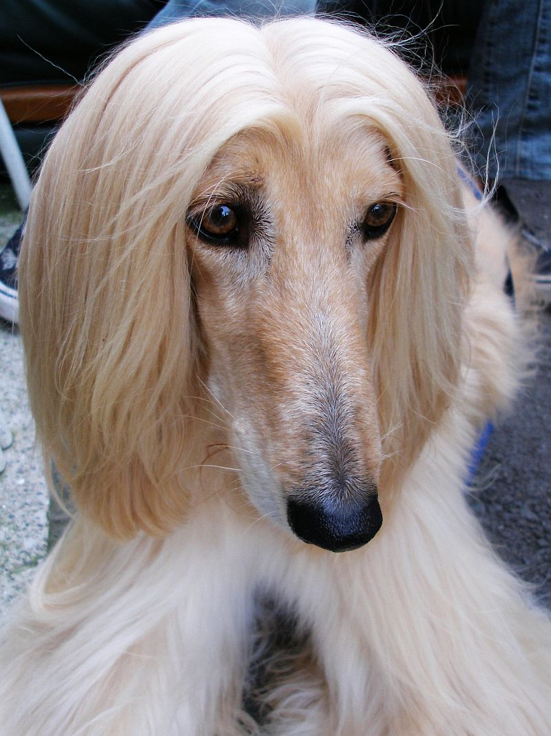 Afghan Hound Information and Wallpapers