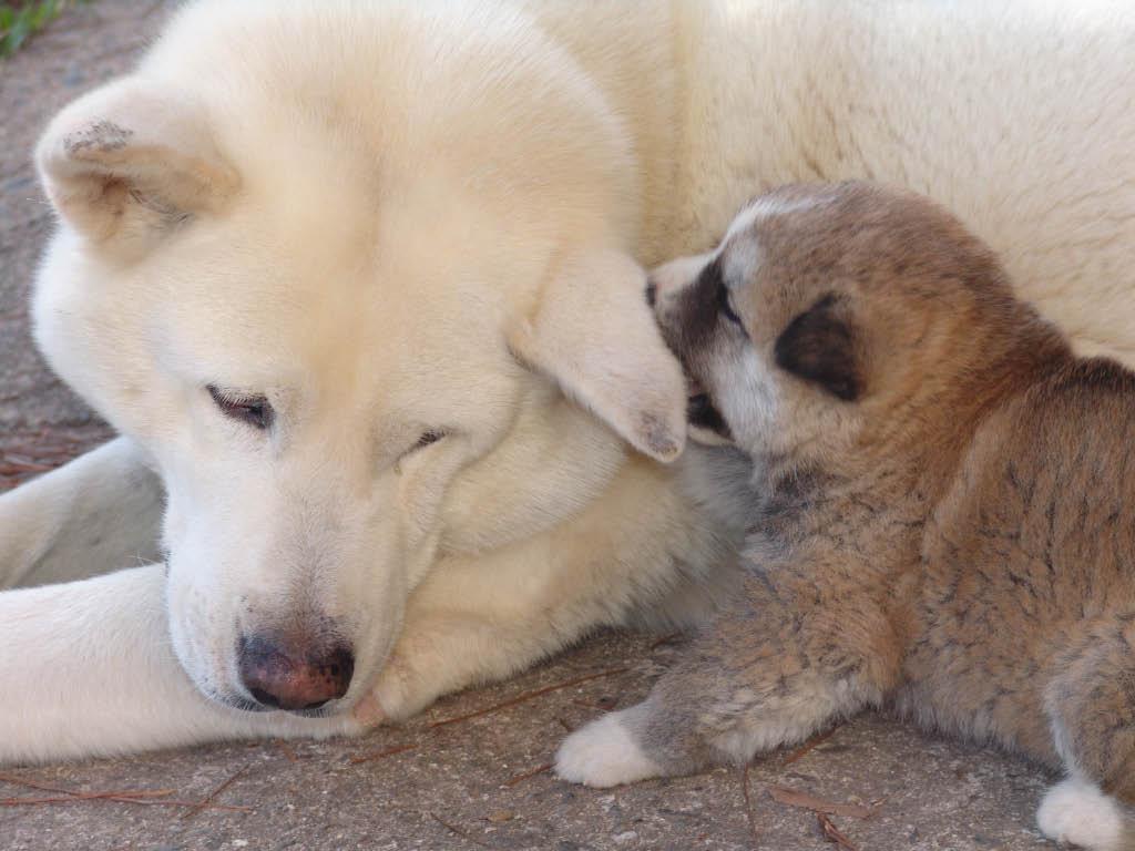Japanese Akita Puppies Top Dog Directory