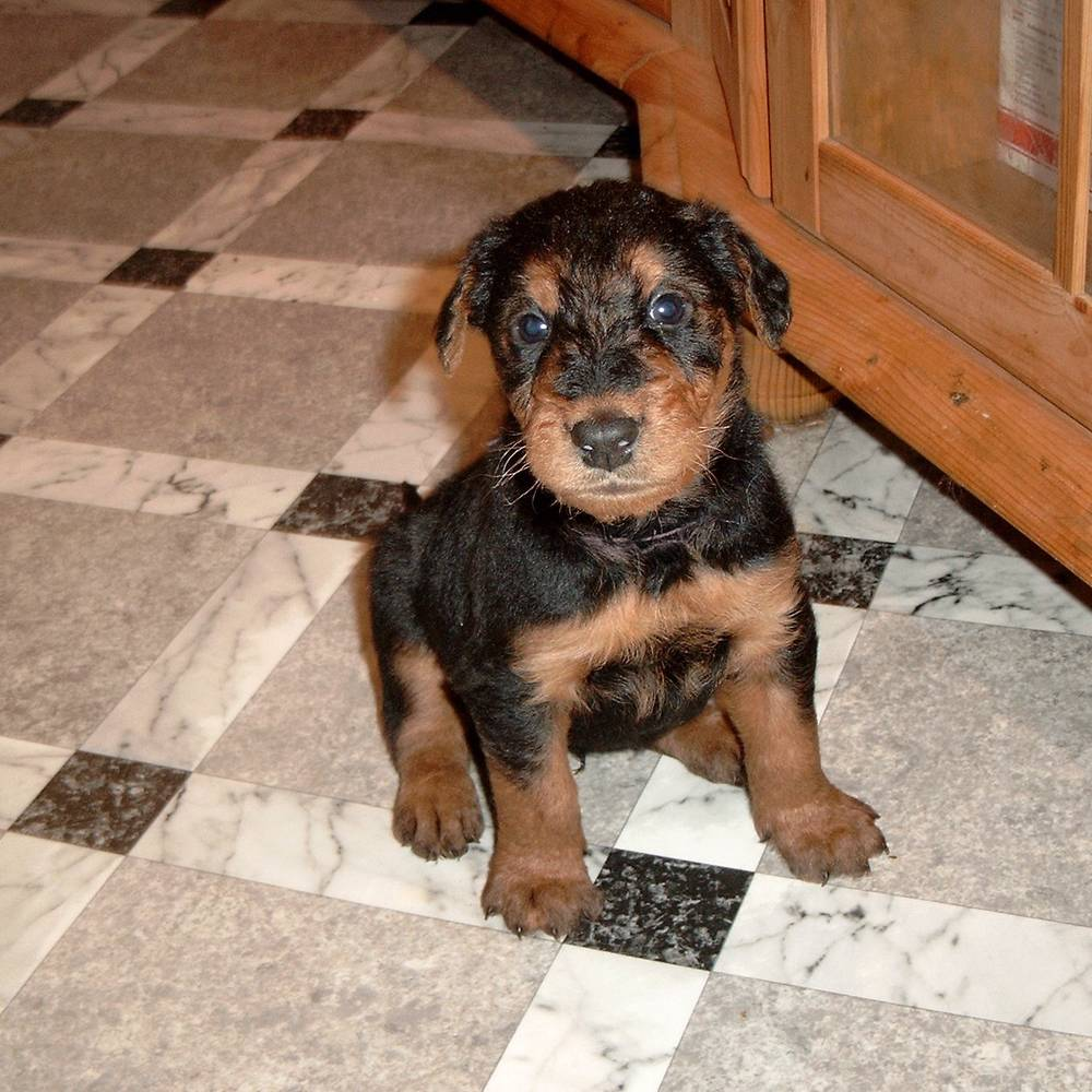 Airedale Terrier Large Dog Breeds Top Dog Directory