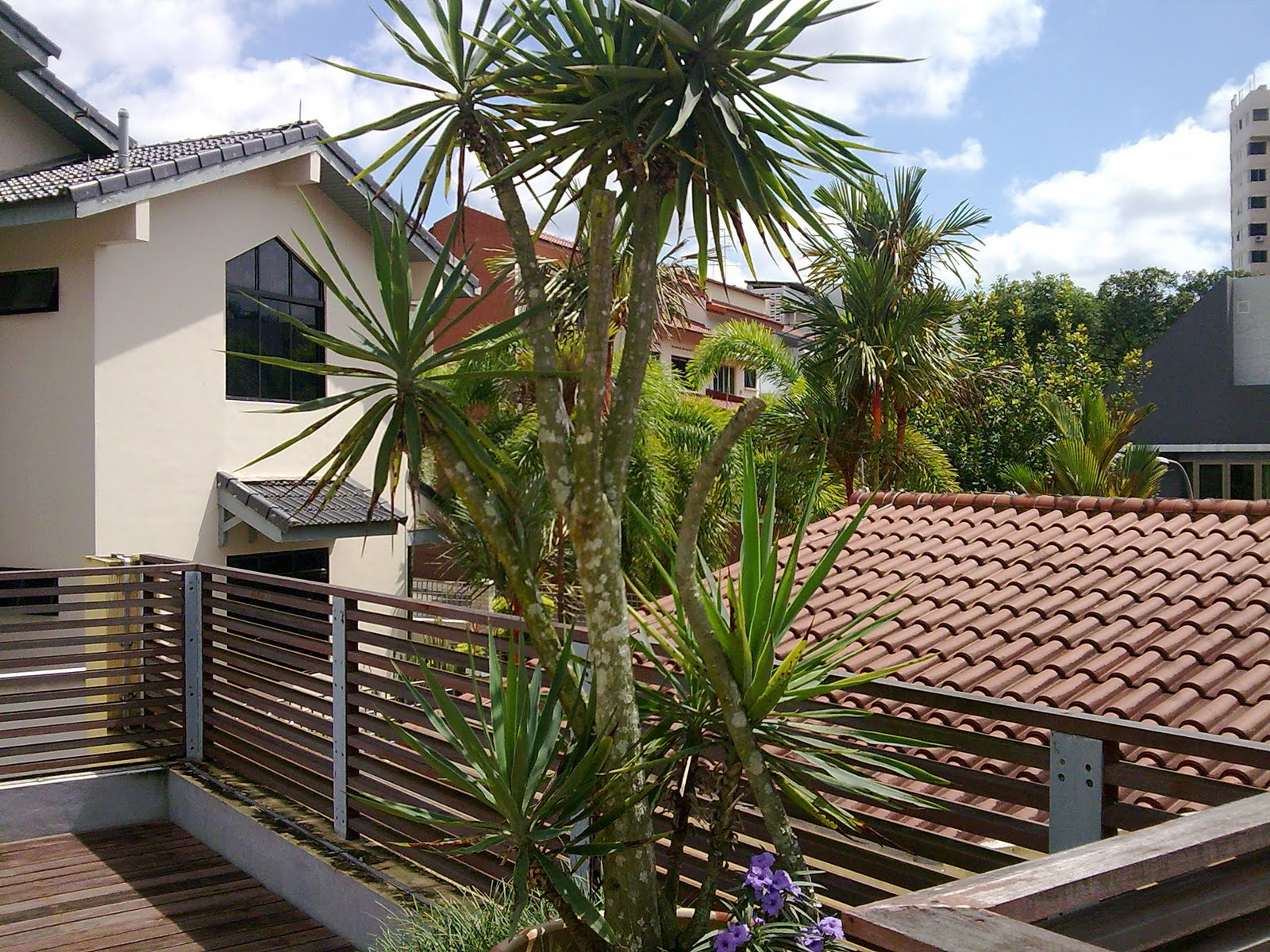 SEIZE THE DAY : The Beautiful Japanese Palm in my Rooftop Garden