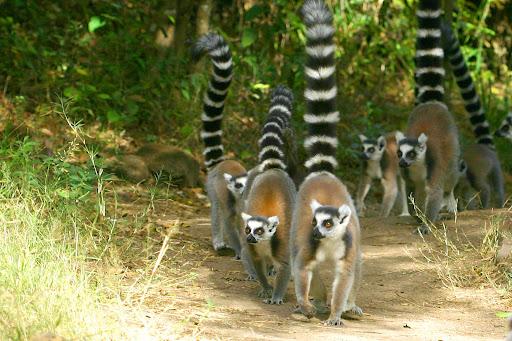 BINATANG on BLOG Lemur Ekor Cincin Lemur catta