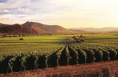 Plantação de uva em vinícola de Santiago do Chile