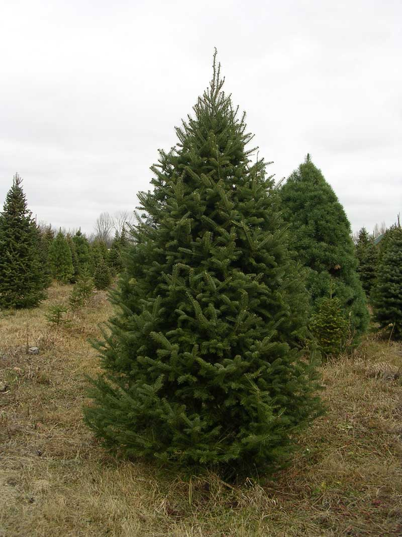 Balsam Fir Is My Favourite And Considered To Be One Of The Most Traditional Christmas Trees A Short Needled Tree Very Aromatic With
