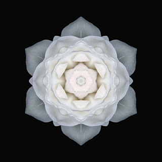 weiße rose bilder