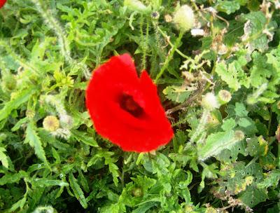 Τα λουλούδια της παπαρούνας έχουν έντονο κόκκινο χρώμα. Είναι γυρεογόνο φυτό  και η γύρη της έχει μαύρο χρώμα με μια χαρακτηριστική πικρή γεύση. de7e21a37ab