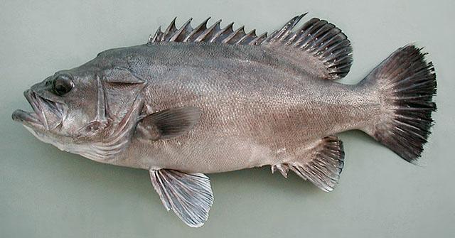 Resultado de imagen para pez mero