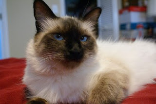 Cat Chit Chat Long Hair Siamese Cat