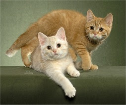 red-and-cream-mackerel-tabby-cats