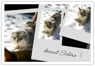 silver Somali cat in the snow