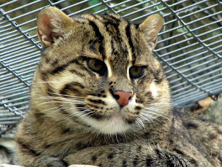 Asian Fishing Cat