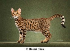 Bengal cat by Helmi Flick