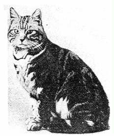 British Shorthair Silver tabby 1896