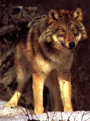 Red Wolf Best Animal Wallpapers