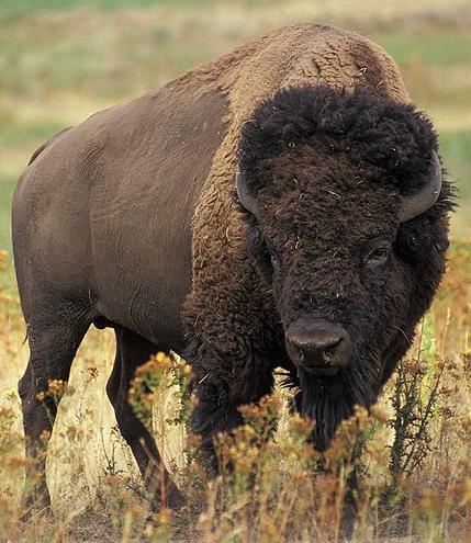 bison - photo #31