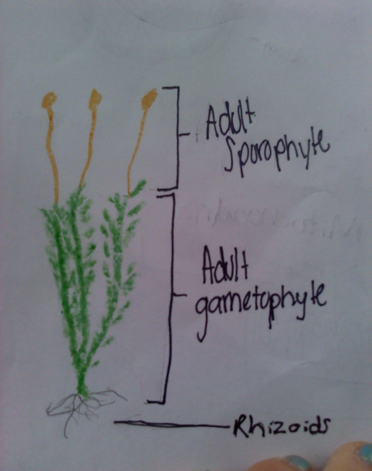 moss diagram labeled jeep wrangler wiring 2016 sporophyte