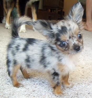 Jolie Blogs Long Hair Chiwawa Puppies