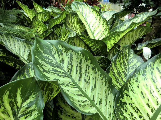 Hortus Italicus Dieffenbachia amoena Hort ex Gentil