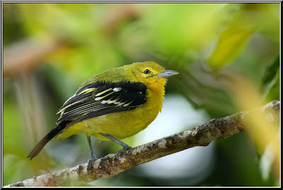 Juvenile Common Iora in full framed at Rambutan tree in Raub Malaysia