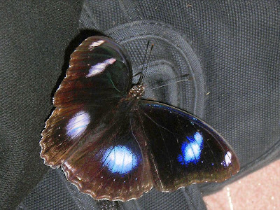 Male Blue Moon Butterfly on the canvas shoe