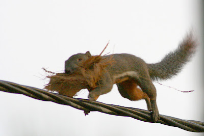 Plaintain Squirrel with nesting material