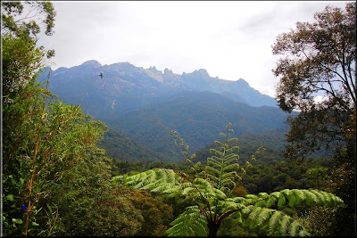 Kinabalu park, Giant Fern,Angiopteris evecta