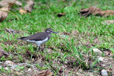 Common Sandpiper (Actitis hypoleucos)Kedidi Pasir at Raub