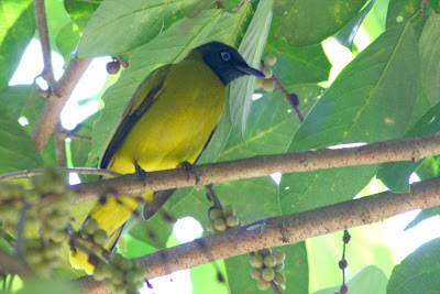 Black-headed Bulbul (Pycnonotus atriceps)Merbah Siam