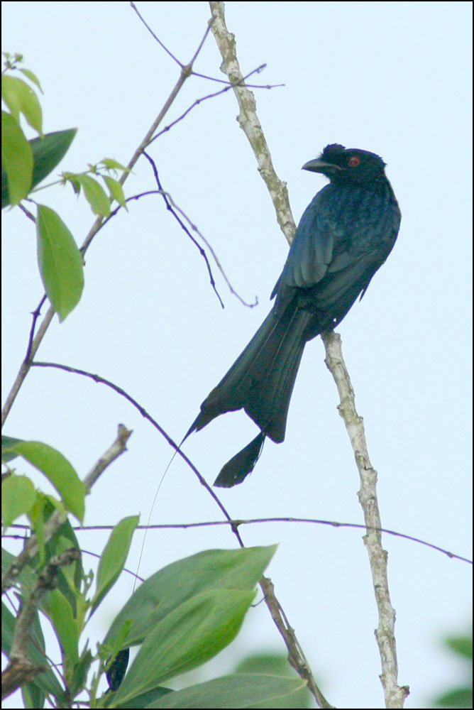 Greater Racquet-tailed Drongo