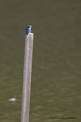 Swallow (Hirundo sp)