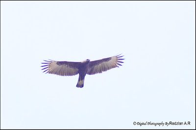 Oriental Honey-buzzard (Pernis ptilorhyncus)