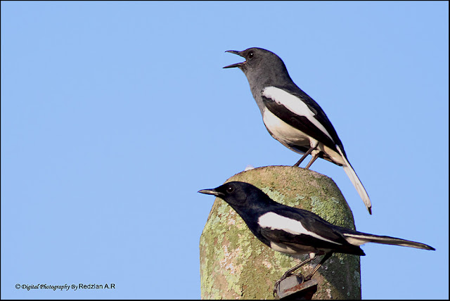 A Pair of Magpie Robin
