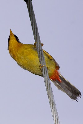 silver-eared mesia at a electric wire