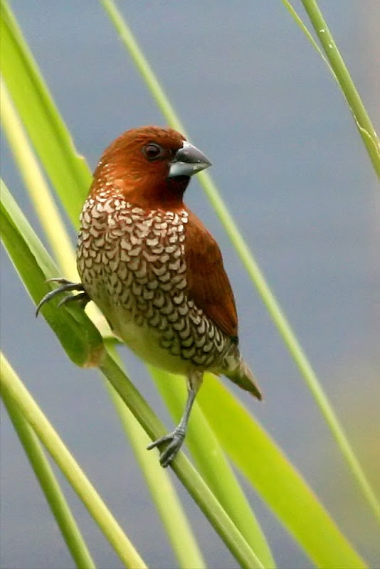 Scaly-breasted  Munia