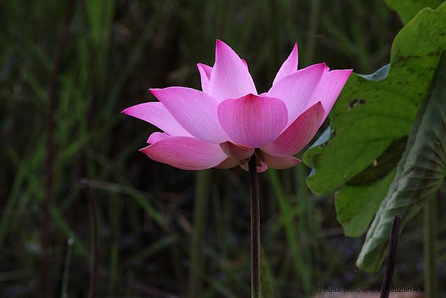 Teratai, Lotus Flowers