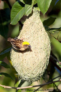 Baya Weaver at Nest