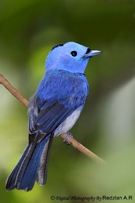 Black-naped Monarch Hypothymis azurea prophata