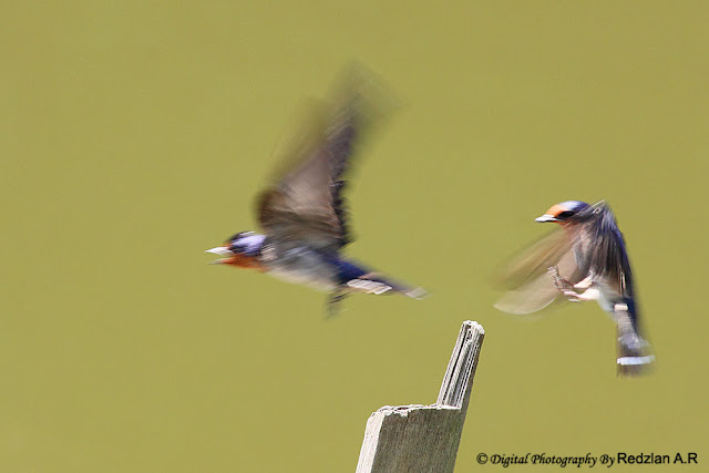 Pacific Swallow landing and take-off