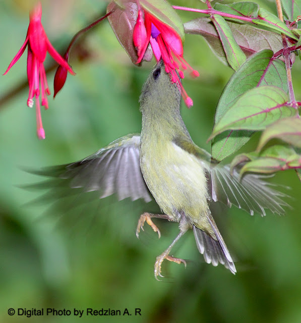 Black-throated Sunbird - feeding