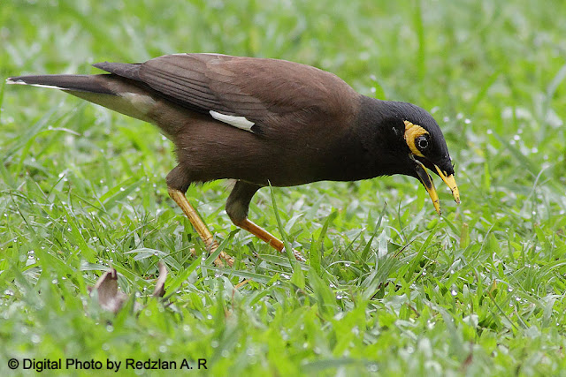 Common Myna Foraging