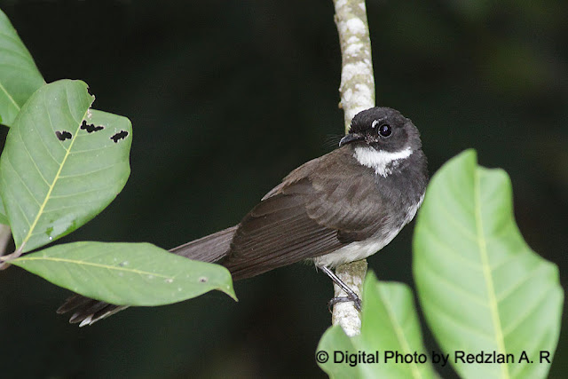 Pied Fantail -Backyard variety