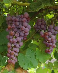 cultvar uva e el patio